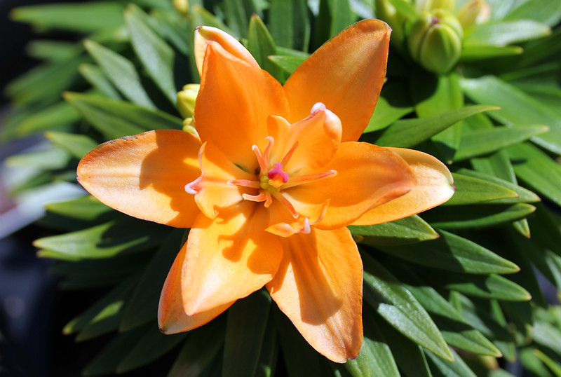 Type of Lilly