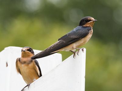 Barn Swallows at VCP