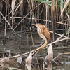 Least Bittern at DeKorte Meadowlands Park