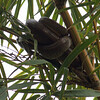 2016_ Cox tree boa_Trinidad_IMG_0820