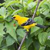 2016_ yellow oriole_Trinidad_IMG_0819