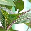 2016_green honeycreeper female_Trinidad_IMG_4599