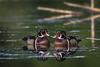 Pair of Male Wood Ducks