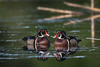 Pair of Male Wood Ducks