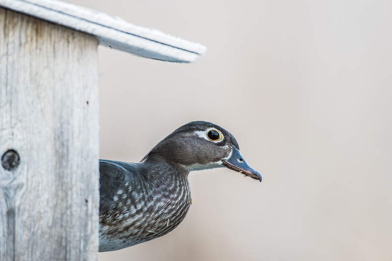 Female Wood Duck Looking Out of House