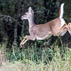 Backyard Deer....Austin, Texas...November 2016