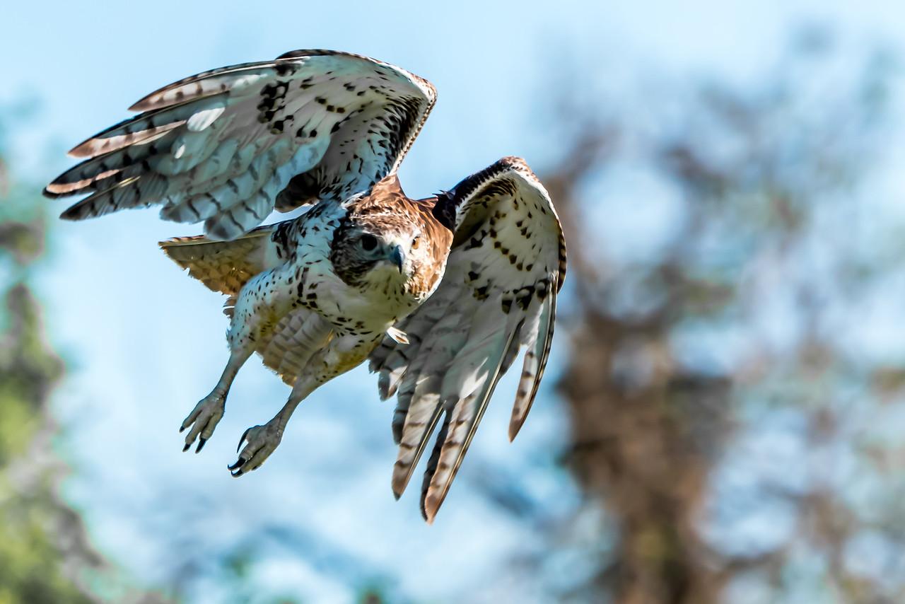 Hawk...Dallas...April 2016