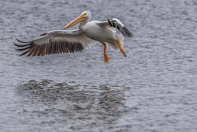 American White Pelican...Dallas, Texas...December 2016