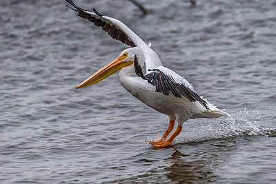American White Pelican...Dallas, Texas...Dec 2016