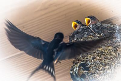 Barn Swallows...Austin...May 18, 2016