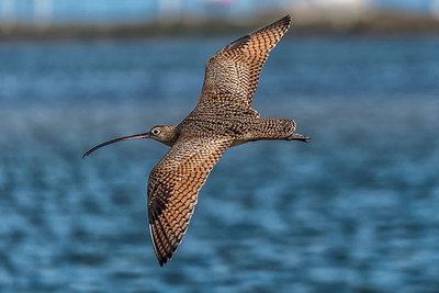 Long-Billed Curlew...North Padre Island...November 2016