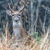 Backyard Deer...Austin, Texas...December 2016