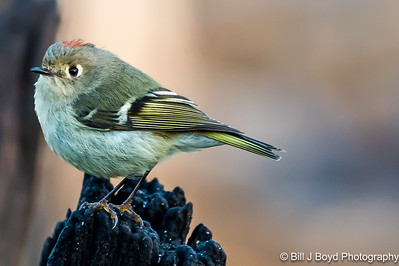 Ruby-Crowned Kinglet...Pedernales Falls SP, Texas...Jan 2016