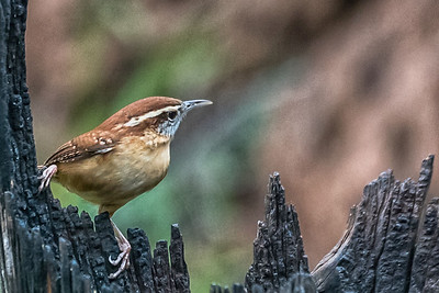 Carolina Wren...Pedernales Falls SP...Dec 2016