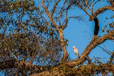Rose-breasted cockatoos (Galahs)