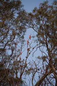 Rose Breasted Cockatoos (Galahs) Early morning at Lake Forbes