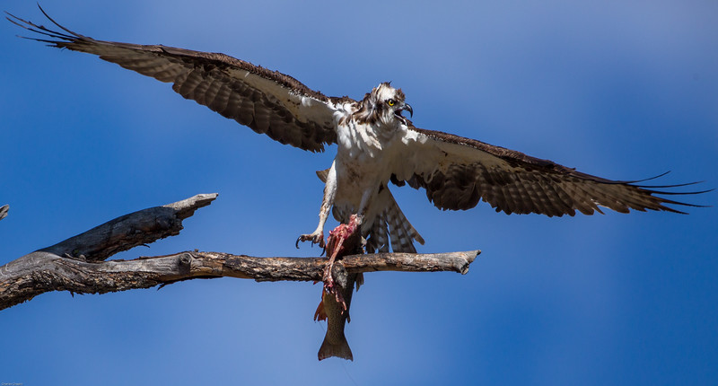 Osprey defending its prey from marauding raven, Lamar River, Yellowstone National Park.