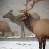 Bull Elk at Mammoth Hot Springs. Yellowstone National Park.
