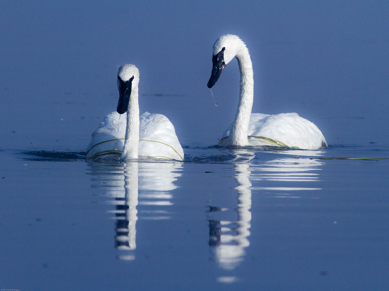 Swans in the Yellowstone River, Hayden Valley, Yellowstone National Park.