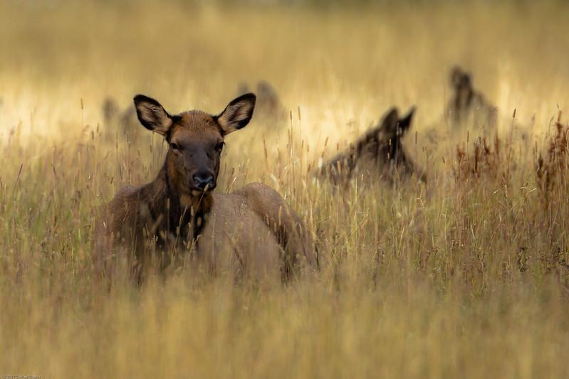 Elk herd in tall grass, Hayden Valley, Yellowstone National Park.