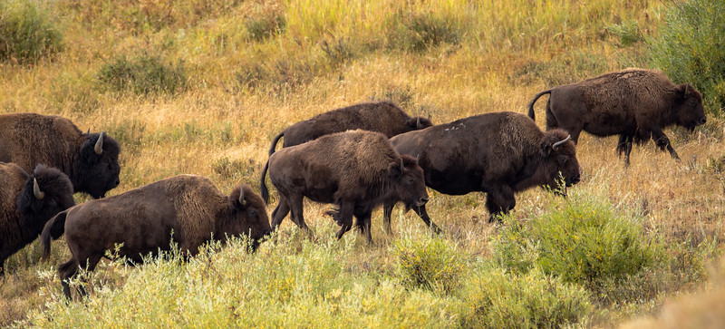 Travelling bison herd along the north entrance road, Yellowstone National Park.