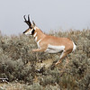 Pronghorn maler, Lamar Valley, Yellowstone National Park.