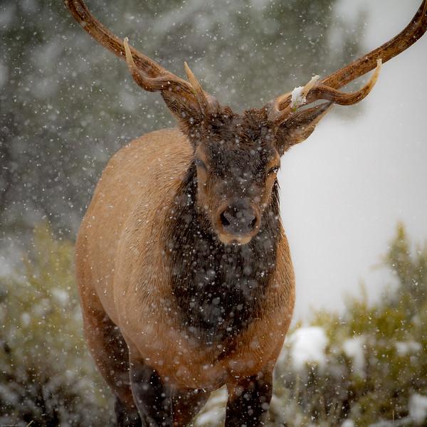 Bull Elk at Mammoth Hot Springs. Yellowstone National Park.