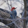 Red-bellied Woodpecker @ Grand Glaize Creek