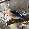 Eastern Bluebird @ Simpson Lake CP