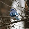 Blue Jay @ Grand Glaize Creek