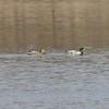 Mallards (Pair) @ Port Hudson Lake Conservation Area