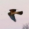 Northern Harrier @ Clarence Cannon NWR
