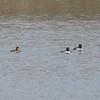 Ring-necked Ducks @ Port Hudson Lake Conservation Area