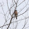 Cooper's Hawk @ Columbia Bottom CA