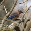 Eastern Bluebird @ Grand Glaize Creek
