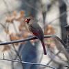 Northern Cardinal (Female) @ Grand Glaize Creek
