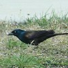 Common Grackle (Male) @ Riverlands MBS
