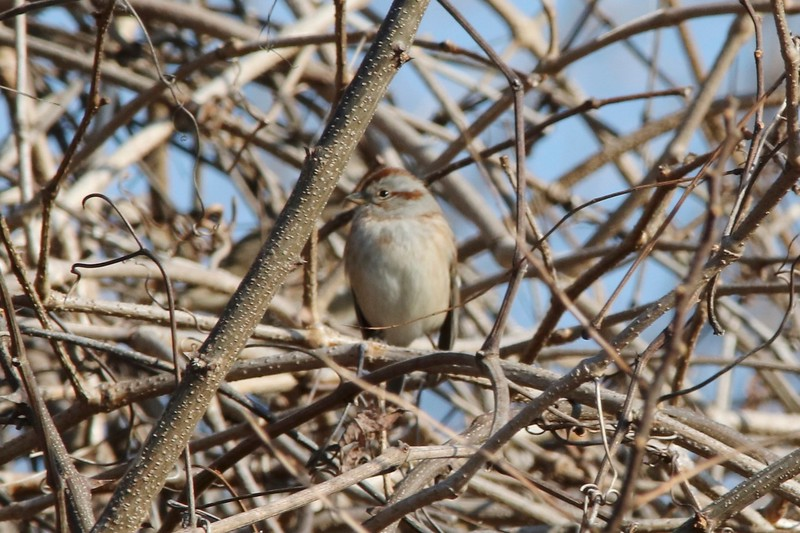American Tree Sparrow @ Columbia Bottom CA