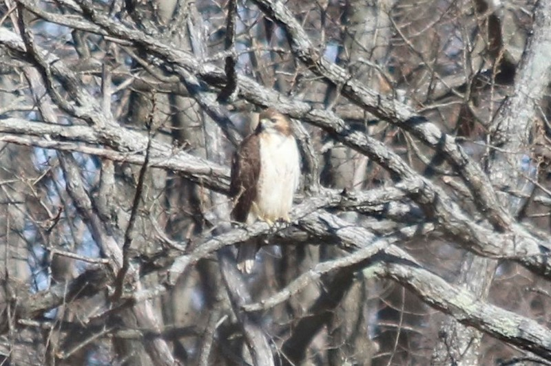 Red-tailed Hawk @ Pleasant Valley Nature Preserve