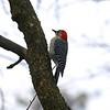 Red-bellied Woodpecker @ Grand Glaize Creek