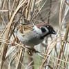 Eurasian Tree Sparrow @ Riverlands MBS