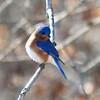 Eastern Bluebird (Male) @ Myron and Sonya Glassberg Family CA