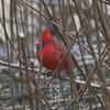 Northern Cardinal (Male) @ Columbia Bottom CA