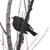 Rusty Blackbird @ Blue Grosbeak Trail