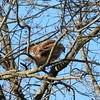 Red-tailed Hawk (Immature) @ Mascoutah