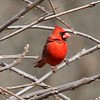 Northern Cardinal @ Forest 44 CA