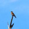 Eastern Bluebird @ Port Hudson Lake Conservation Area