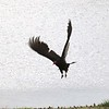 Turkey Vulture @ Riverlands MBS