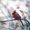 Northern Cardinal @ Grand Glaize Creek