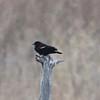 Red-winged Blackbird @ Blue Grosbeak Trail